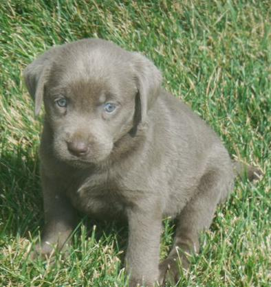 Silver Lab Puppies for Sale | AKC Lab Puppies for Sale